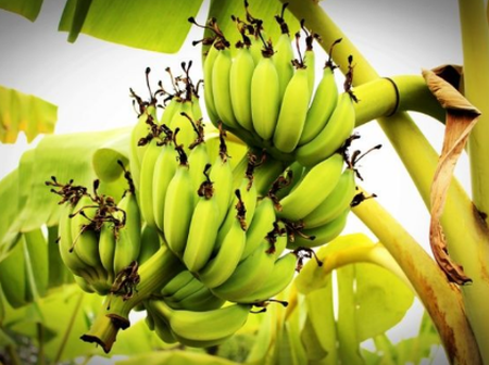 A banana stem shouldn't be called a tree,  it should be called this instead.