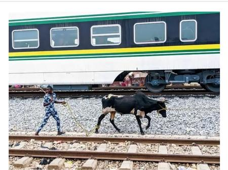 Do You Know That The Abuja-Kaduna Train Speed Was Reduced Because Of Cows? See Details