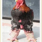 Ten weird Breed of chicken that weigh the size of goat and worth the price of a car in Nigeria.