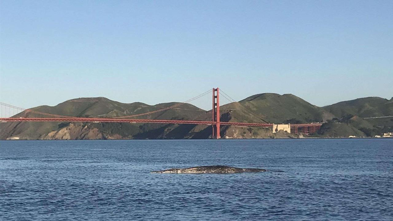 4 dead whales now found around San Francisco Bay in 9 days. Here's what we know.