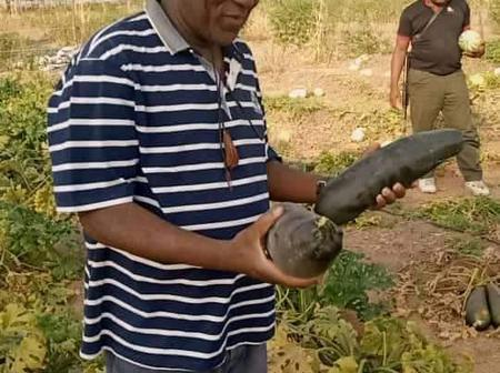 Former Speaker, Yakubu Dogara was Spotted holding giant cucumber in his farm [Photos]