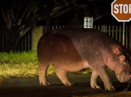Warning To Fourways Residents As A Hippo Is On The Loose.