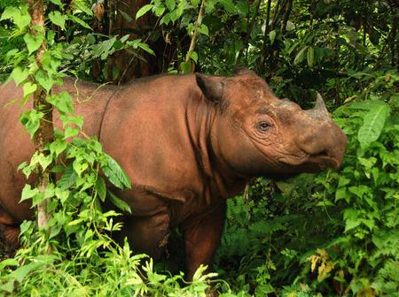 Sumatran rhino is also known as the hairy rhino