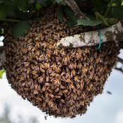 A Man And A Lover Hospitalized After Stung By Bees While Having Conjugal Rights In The Forest