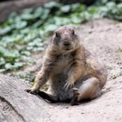Prairie Dogs Fun Facts For Kids