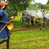 Fulani Herdsmen Allegedly Return To Oyo, Invade Farm Lands, Uproot Cassava To Feed Their Cows