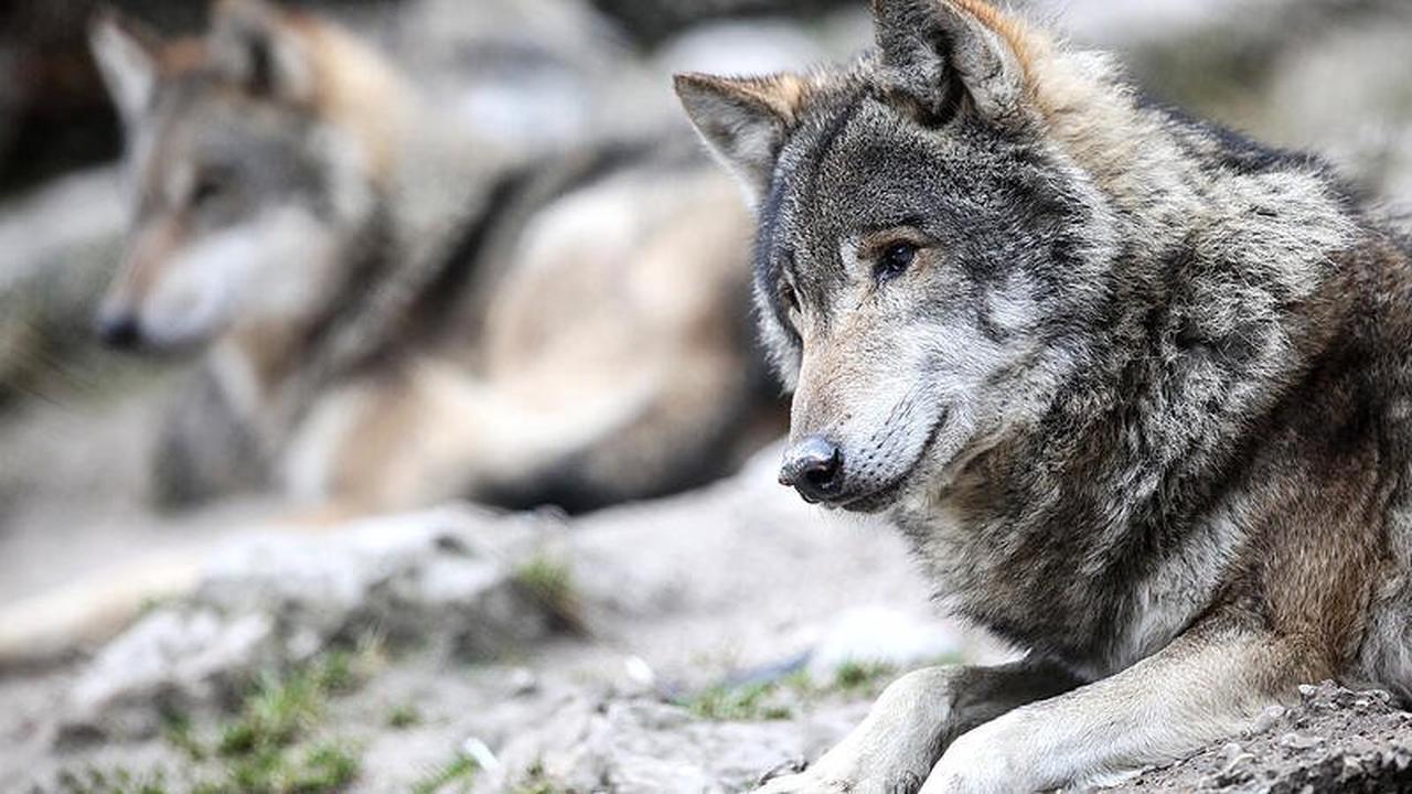 Almabtrieb in Tirol wegen Wolfsattacken
