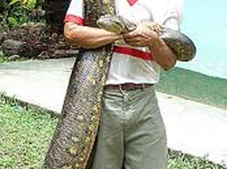 Not Good For Those Who Fear: See How Anaconda Snakes Are Made A Pet, See Pictures Of It.