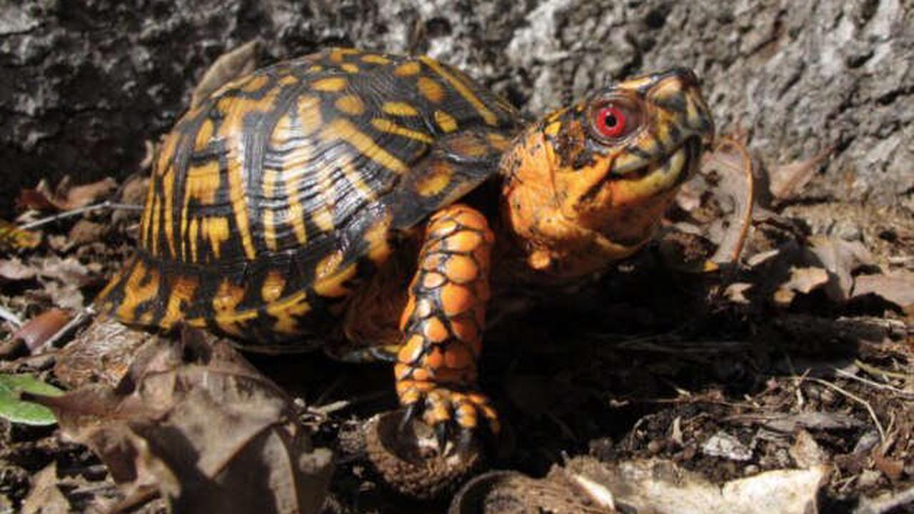 TWRA officer spots 'undoubtedly the largest' Eastern Box Turtle in Middle Tennessee