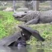 These Man Wore Alligator Costume To Challenge Real and Alive Alligators.
