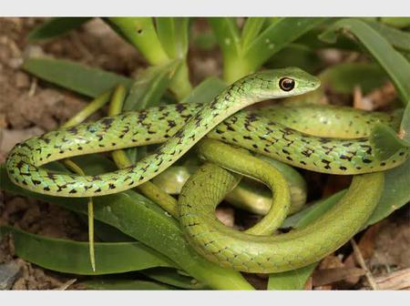 In KZN They Believe That This Snake is an Ancestral Snake. Here's why | opinion