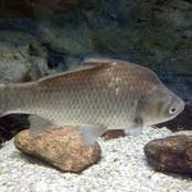 Animal Farming 101: What do Japanese white crucian carp fish eat?