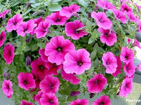 Garden Tips To Plant And Water Petunia Flowers At Home