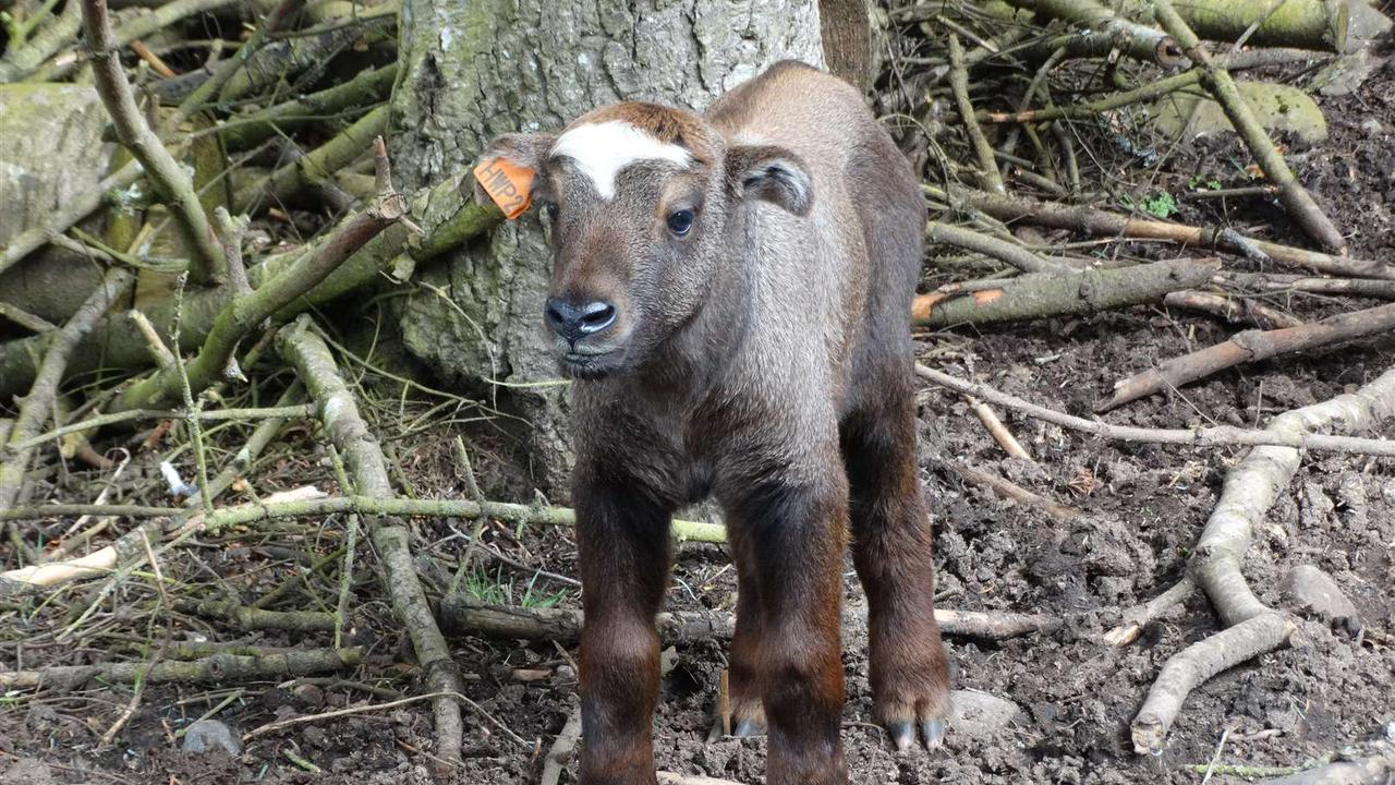 Mishmi takin calf born at wildlife park