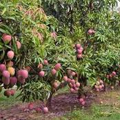 Commerce / Mangue : la Côte d'Ivoire est le 1er exportateur ouest africain, voici les raisons