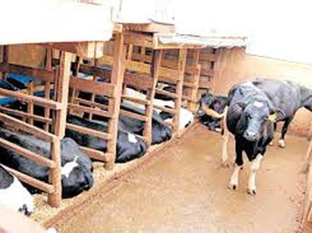 Recommended Plan and Approximate Cost Of A Zero Grazing Yard For Small Scale Farmer