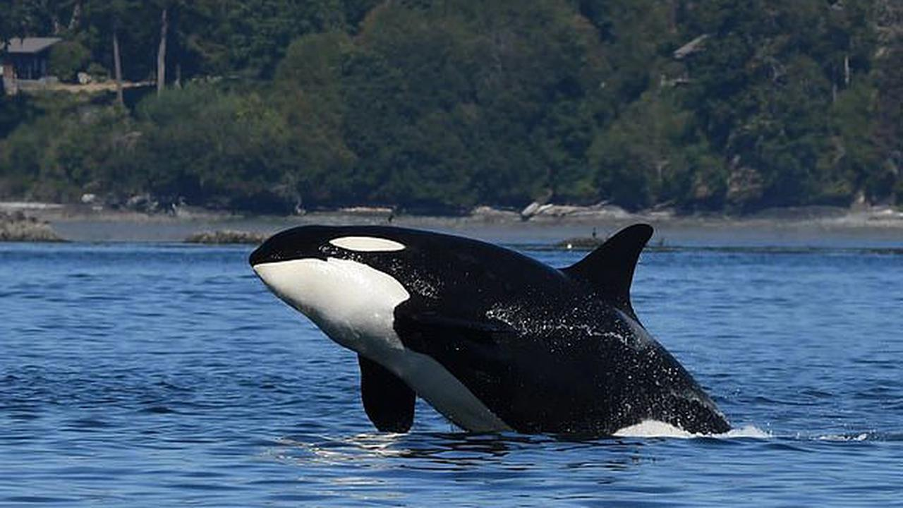 A 47-year-old 'grandma' killer whale has gone missing from her Pacific Northwest pod, endangering the young orcas who rely on older females for food