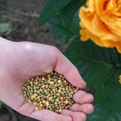 Which Planting Fertilizer is The Best To Grow Roses In Your Garden