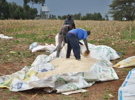 Uproar After Kenyan Government Bans Maize Farming in These Areas