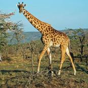 Intriguing facts about the tallest animal
