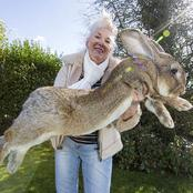 The Biggest Rabbit In The World Has Been Stolen From The Owner