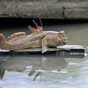 Check out the fish that can walk on land and climb trees (photos)