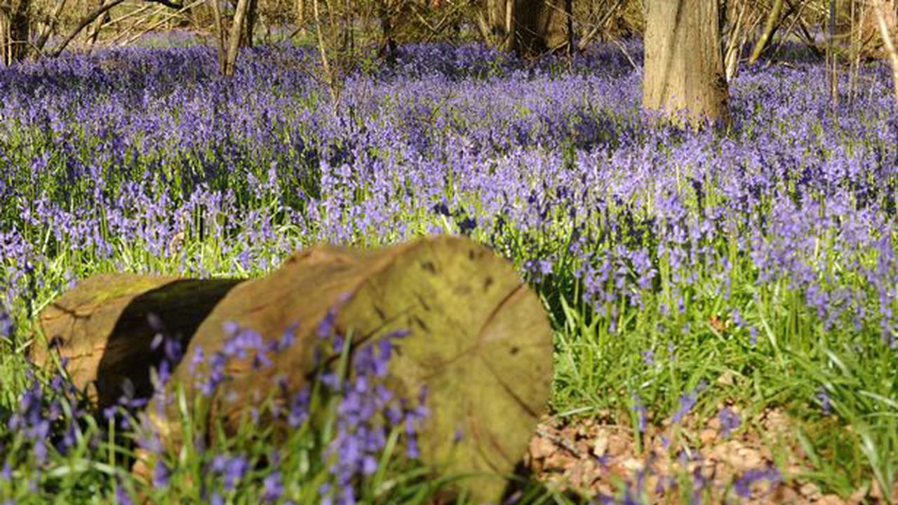 The best bluebell walks in Surrey to see a carpet of colour