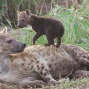 Machakos: Hyena Dies After Consuming Human's Dead Body