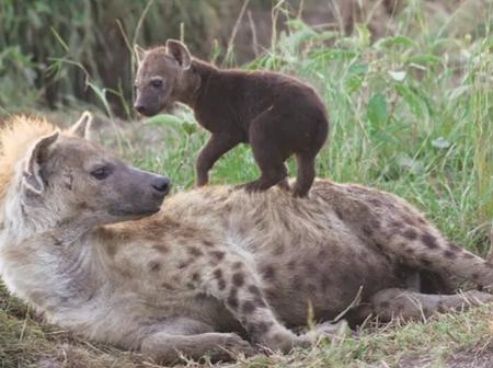 Machakos: Hyena Dies After Consuming Human's Dead Body
