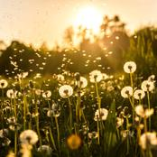 Healthy Benefits Of Dandelion Herb Are Incredible