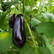 Garden Tips To Plant Eggplant