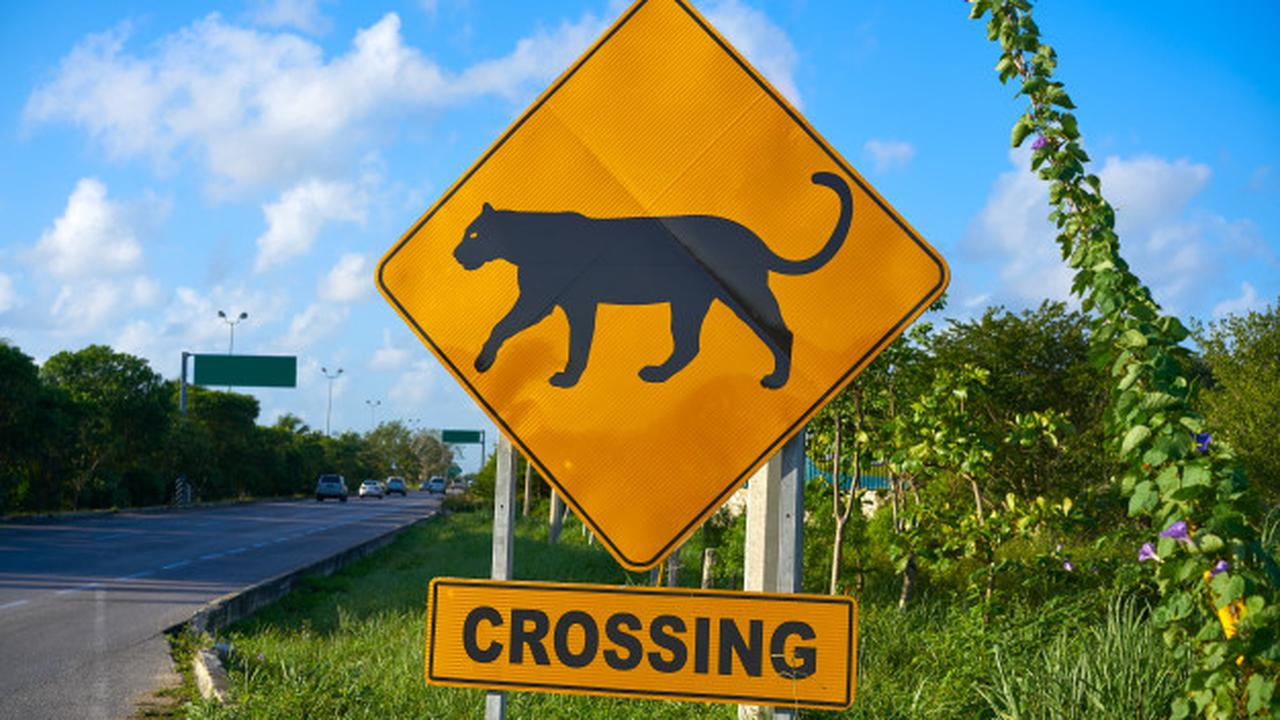 The Biggest Threat to Florida Panthers? Reckless Drivers