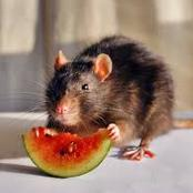 How to Eradicate Rat from your House once and for all without spending One Naira.
