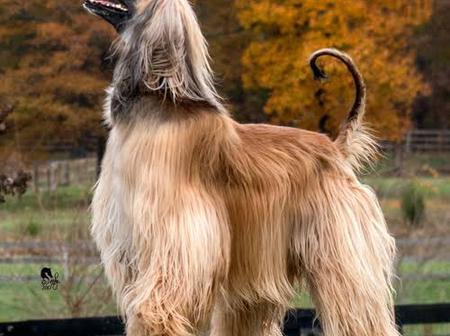 10 Most Expensive Dogs You Cannot Imagine