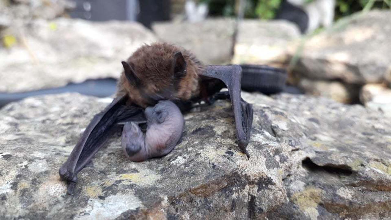 Injured bat gives birth in Malmesbury garden