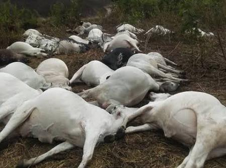 21 Cows Electrocuted to Death as Herder Mourns