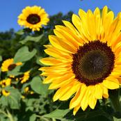 Top 2 Tips To Note When Growing Sunflowers in Your Garden