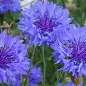 Garden Tips To Plant Bachelor's Button Flowers