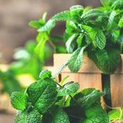 نبتة ربانية تخلصك من رائحة الفم الكريهة و تعالج الربو والقولون العصبي و تسكن الالتهابات وتطرد السموم