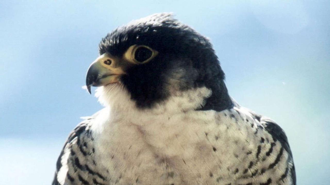 Falken attackieren Tauben: Taubenzüchter ärgern sich über Tierschutz-Maßnahme