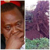 Should President Uhuru Worry After a 'Sacred' Mugumo Tree Fell In Kiambu? Here Are The Reasons