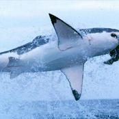 10 Interesting Fact About The Great White Shark