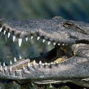 Crocodile Swallows 8-Year-Old Boy