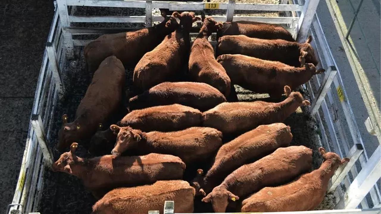 Entre hausse des coûts de production et baisse de la demande intérieure La production brésilienne de viande bovine en chute