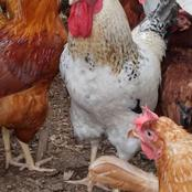 Natural antibiotic for poultry farming.  Very cost effective (inorganic farming)