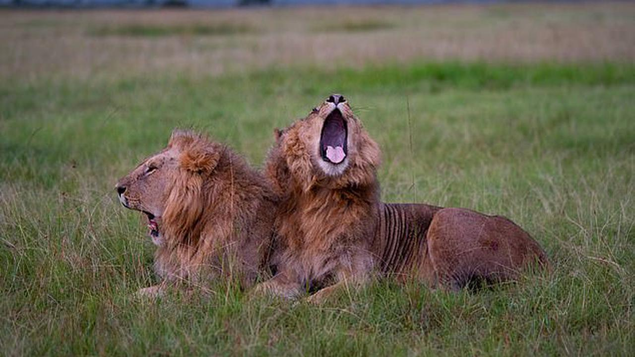 Yawning is contagious for lions, too, according to study which found the big cats synchronize their behaviors to help group cohesion
