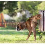Why Do Dogs Use Pee To Mark Territory?