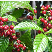 No Need To Uproot The Trees, Try These Methods And Increase Your Coffee Yields
