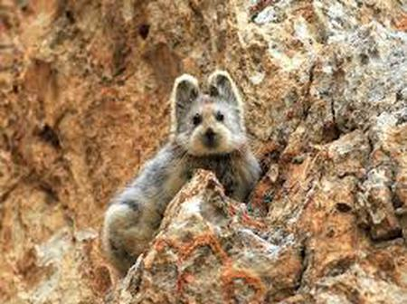 The Ili Pika can be found in China