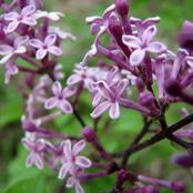 How to Grow and Care for Bloomerang Lilac